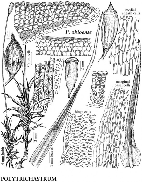 OMLA-sponsored illustration in Flora of North America