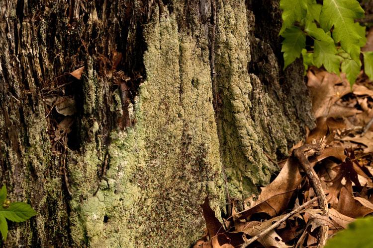Cladonia-caespiticia-habitat
