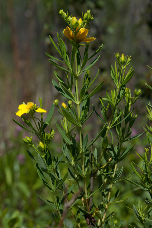 Hypericum-kalmianum-Henry-Cty-June-2010