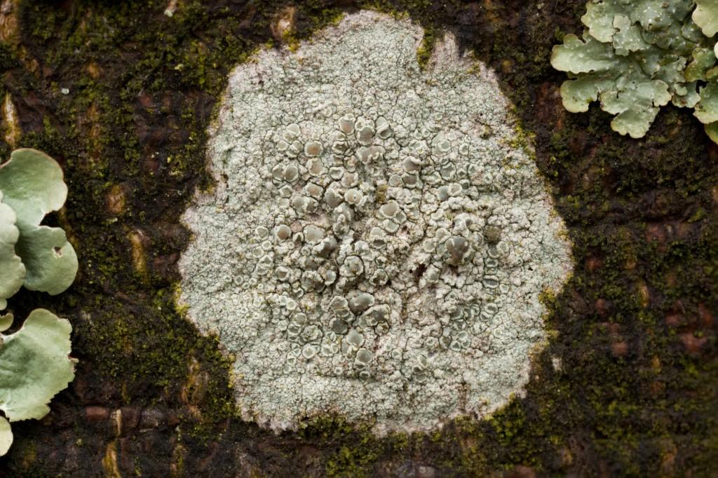 Lecanora-hybocarpa