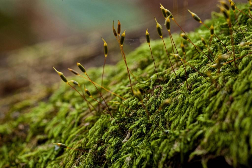 Pylaisiadelpha tenuirostris photo by Bob Klips