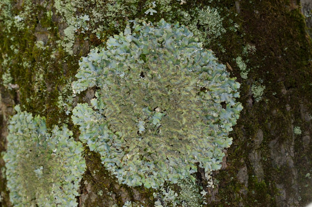 Gray foliose lichen on bark in open area of Mt. Gilead State Park.