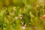 Platygyrium repens