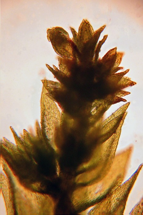 Platygyrium repens photo by Bob Klips