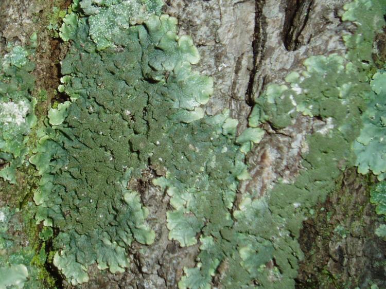 Canoparmelia caroliniana