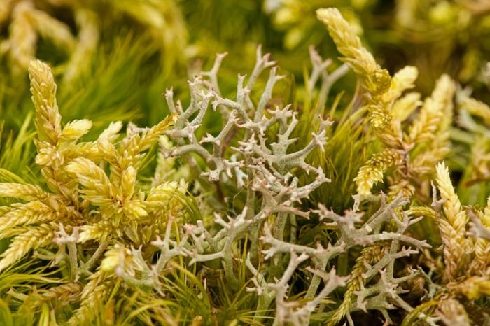 Cladonia furcata and Pleurozium schreberi
