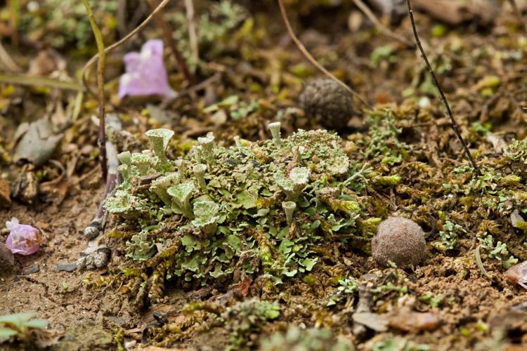 Cladonia pyxidata substrate
