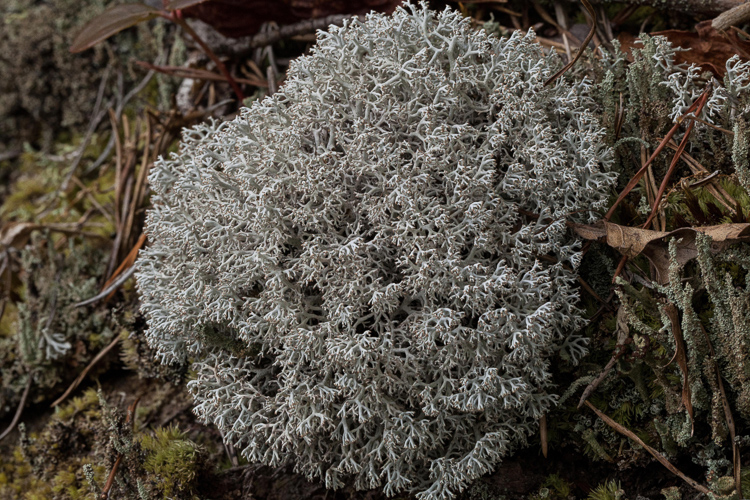 Cladonia rangiferina photo by Bob Klips