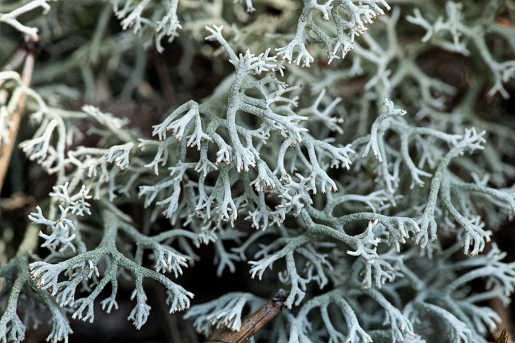 Cladonia rangiferina tips photo by Bob Klips