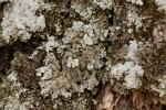 Parmelinopsis minarum