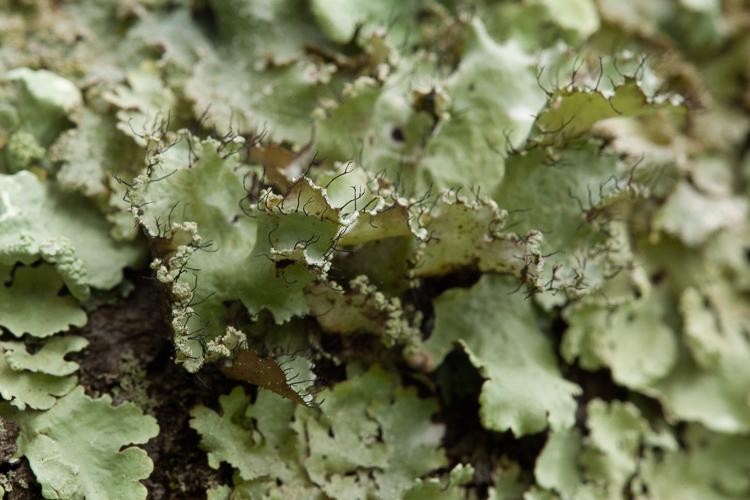 Parmotrema hypotropum cilia photo by Bob Klips