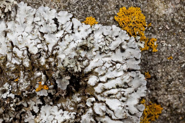 pruinose lobes of putative Physconia detersa photo by Bob Klips