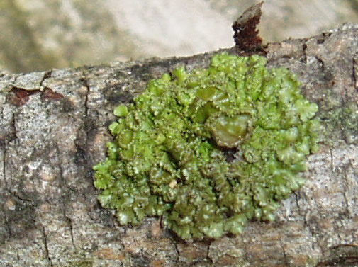Tuckermanella fendleri