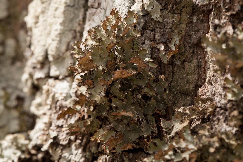 Tuckermanopsis americana photo by Bob Klips