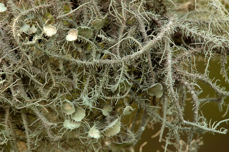 Usnea strigosa specimen from South Carolina photo by Bob Klips