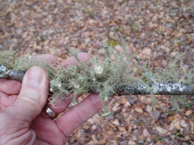 Usnea strigosa photo by Ray Showman