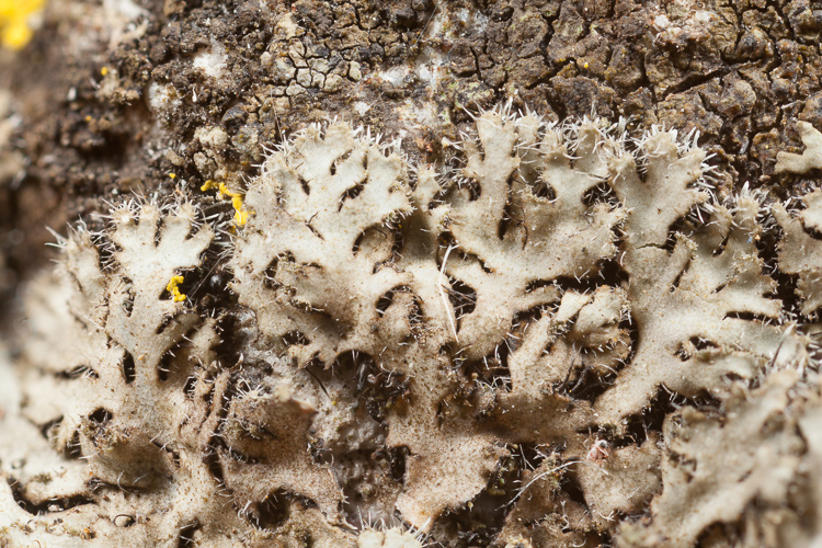 Phaeophyscia cernohorskyi photo by Bob Klips