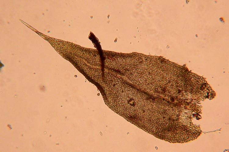 Anomodon rostratus-13