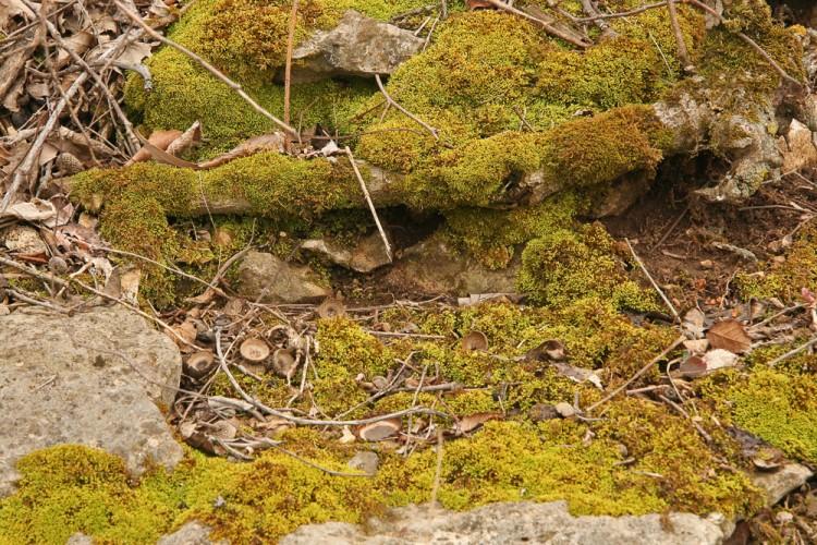 Anomodon rostratus photo by Bob Klips