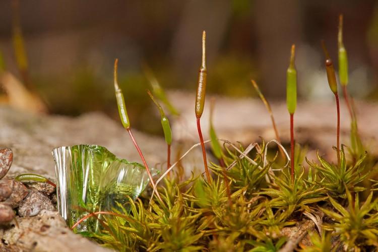 Atrichum angustatum phot by Bob Klips