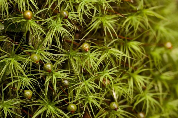 Bartramia pomiformis photo by Bob Klips