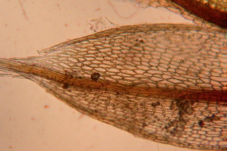 leaf of Bryum lisae var. cuspidatum.