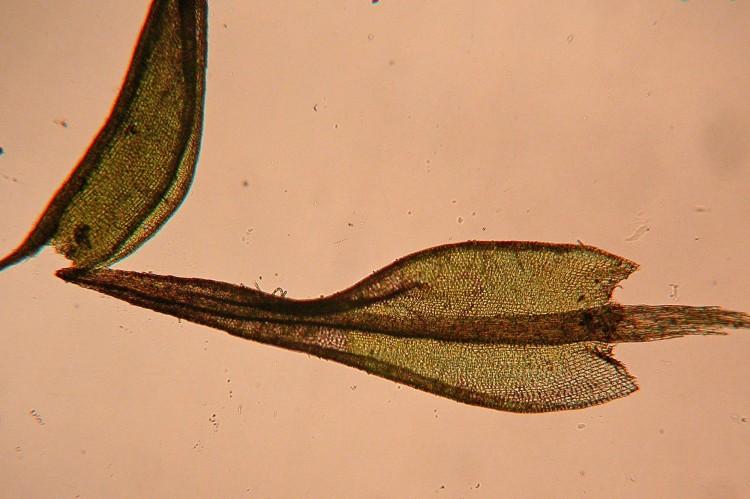 Ceratodon purpureu leaf.