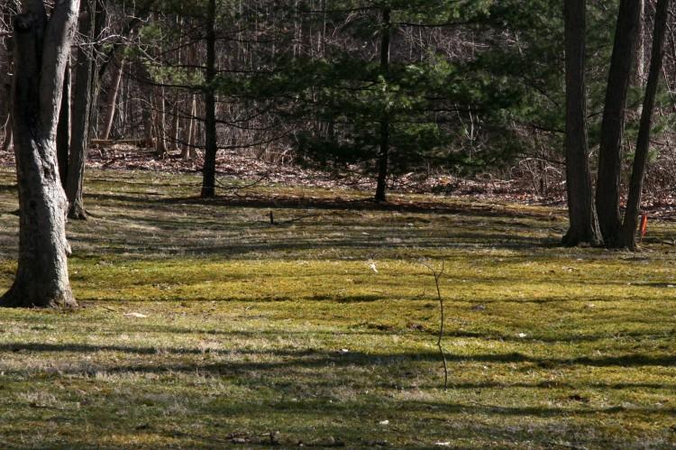 Climacium americanum on residentrial lawn in North Royalton, Cuyahoga County, Ohio. April 6, 2008.