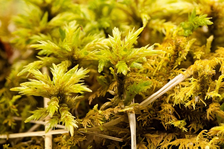 Climacium americanum in swamp in Tucker County, West Virginia. June 3, 2014.