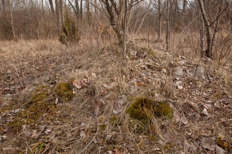 Dicranum polysetum photo by Bob Klips