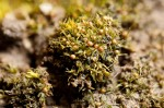 Ephemerum cohaerens