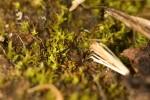 Ephemerum crassinerveum