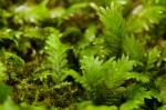 Fissidens adiantoides