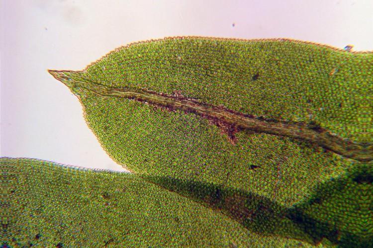 Fissidens taxifolius leaf tip.