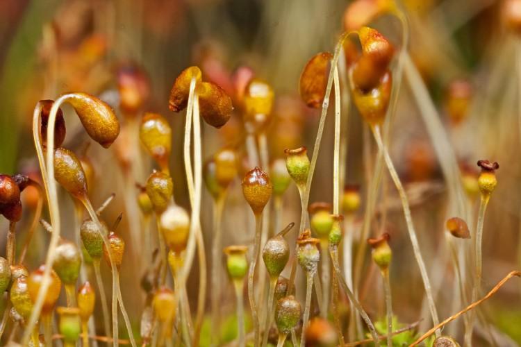 Funaria hygrometrica photo by Bob Klips