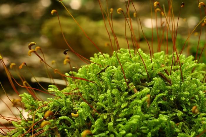 Hypnum curvifolium photo by Bob Klips