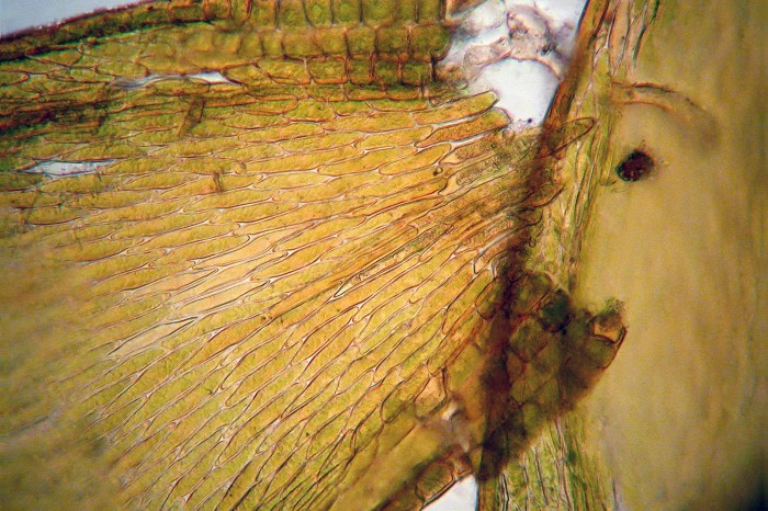 Platygyrium repens-5