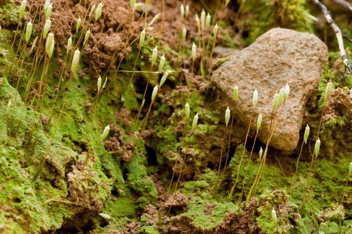 Pogonatum pensylvanicum growing on soil between rocks at someplace