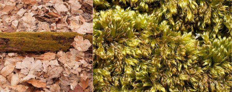 Pylaisiadelpha Tenuirostris