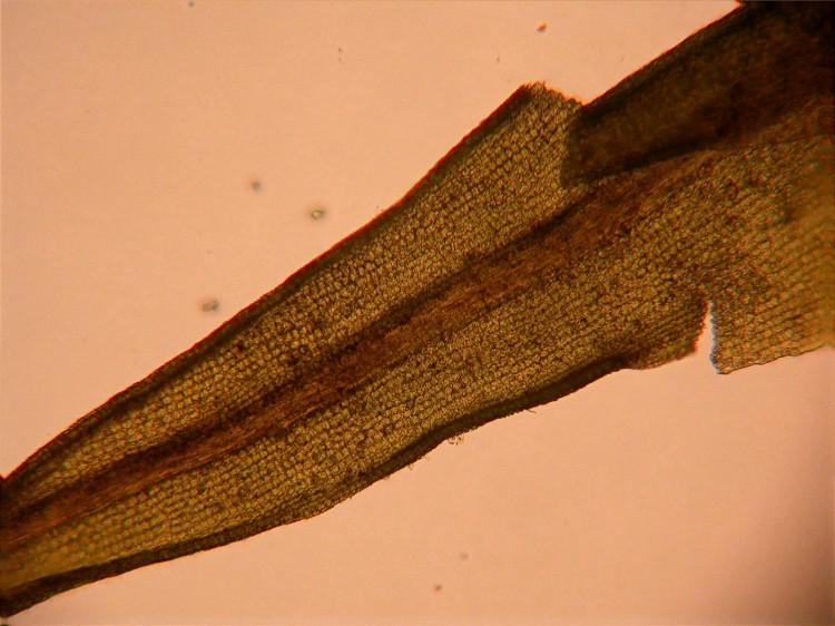Weissia muhlenbergiana
