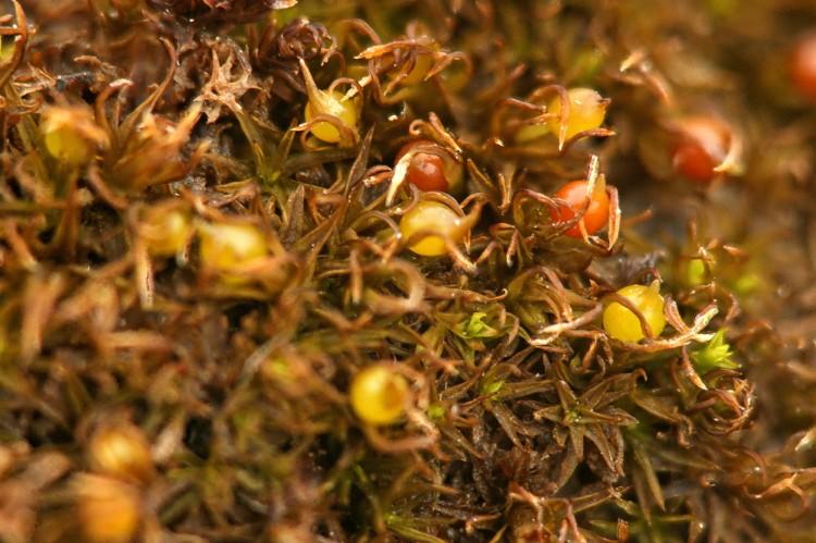 Weissia muhlenbergiana photo by Bob Klips