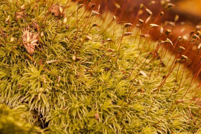 OMLA Columbiana-Leucobryum-glaucum-plant
