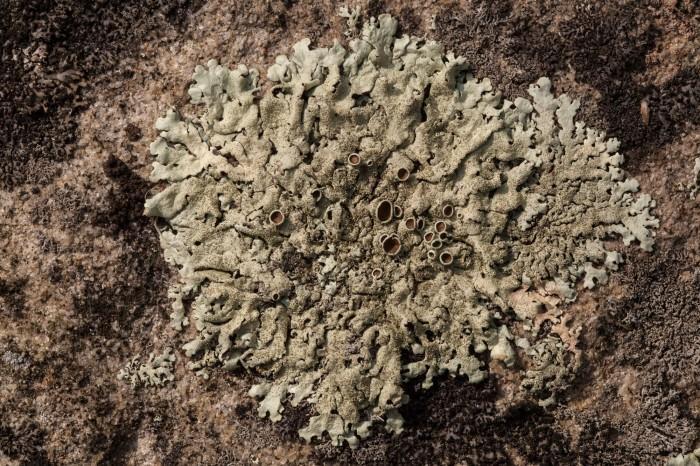 OMLA Columbiana-Xanthoparmelia-plittii-thallus