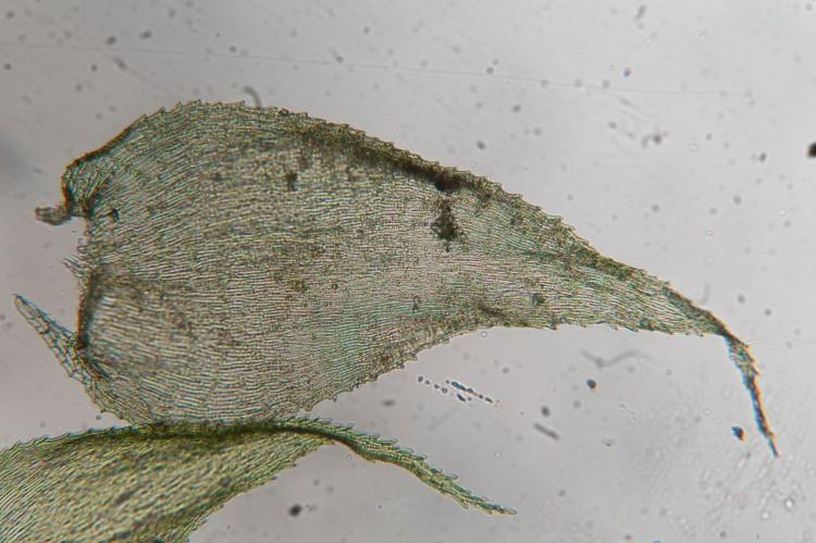 Ctenidium molluscum leaf