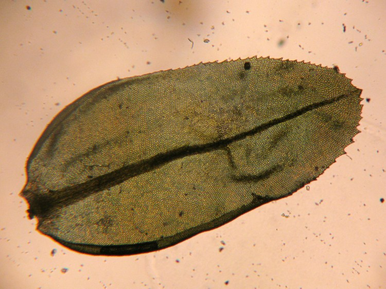 Aulacomnium heterostichum photo by Bob Klips