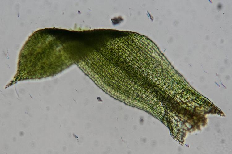 Desmatodon porteri leaf photo by Bob Klips