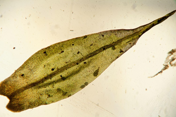 Dicranum spurium photo by Bob Klips