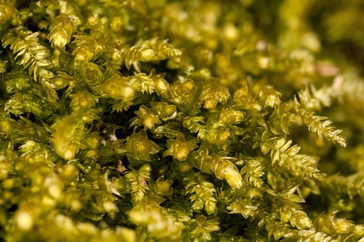 Eurhynchium hians photo by Bob Klips