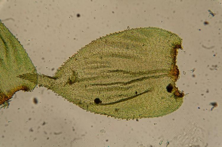 Loeskeobryum brevirostre photo by Bob Klips
