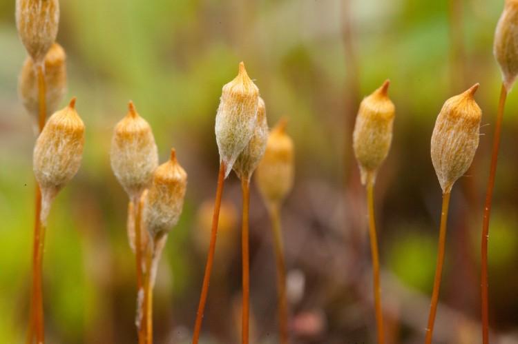 Polytrichum commune photo by Bob Klips